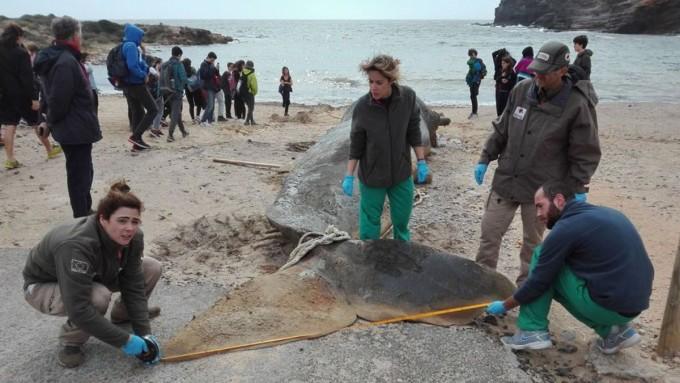 올해 2월 스페인 남부 카보데팔로스 해변에서 향고래 한 마리가 죽은 채 발견됐다. 부검 결과 이 고래의 사인은 플라스틱 쓰레기를 삼켜 생긴 복막염으로 드러났다. - 사진 출처 스페인 무르시아문화환경국