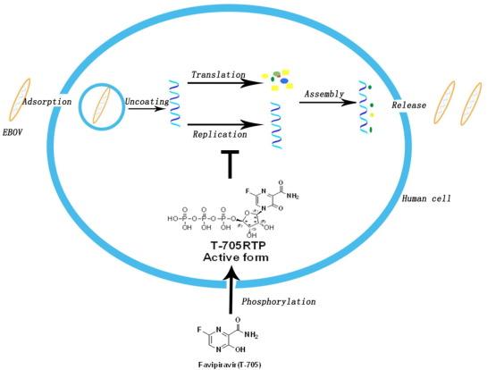 2014년 일본에서 독감치료제로 허가가 난 파비피라비르(아래 분자)는 세포에 들어가면 인체 효소의 작용으로 활성형(T-705RTP)으로 바뀌어 인플루엔자바이러스 게놈의 복제(replication)를 교란해 증식을 차단한다. 파비피라비르는 인플루엔자바이러스뿐 아니라 그림의 에볼라바이러스(EBOV)를 비롯해 다른 음성가닥 RNA 바이러스에도 효과가 있는 것으로 밝혀졌다. 게놈 복제에 관여하는 RNA중합효소의 구조가 다들 비슷하기 때문이다. 최근 일본에서는 파비피라비르의 SFTS치료제 효과를 확인하는 3상 임상시험이 시작됐다. - '생유기&의약화학 레터스' 제공