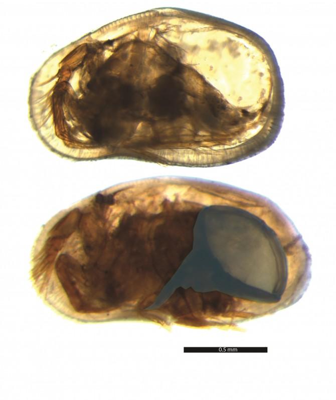 오스트라코다 종인 사일피델리스 세일브로사(Cypideis salebrosa)로 암컷(위)이 수컷보다 더 짧다. 연구팀은 암수간 길이나 모양 등 형태 차이가 크면 종의 멸종속도가 빨라진다는 분석했다.- Smithsonian 제공