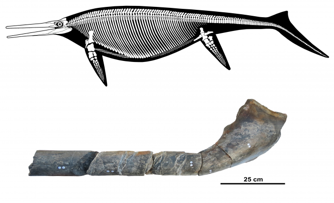 초거대 어룡 쇼니사우르스시칸니엔시스의 상상도(위)와 뼈화석도로 온전한 뼈화석 표본은 발견된 바가 없다-n