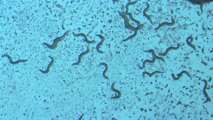 미세먼지에 노출된 실험용 동물 '예쁜꼬마선충'의 모습. KIST 연구진은 유산균의 일종인 HY2782을 먹이면 미세먼지로 인한 각종 질환을 예방할 수 있다는 사실을 알아냈다. 한국과학기술연구원 제공.