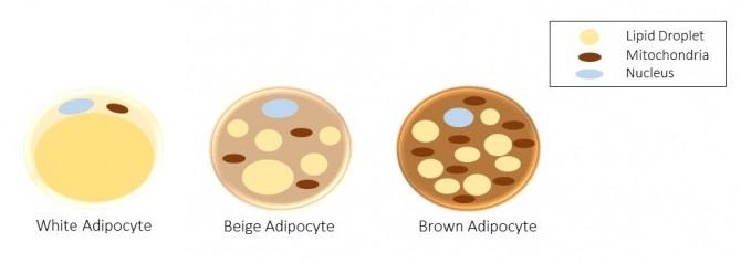 왼쪽부터 백색지방, 베이지색지방, 갈색지방 세포 구조를 나타내는 그림. - KTroike(Wikipedia) 제공