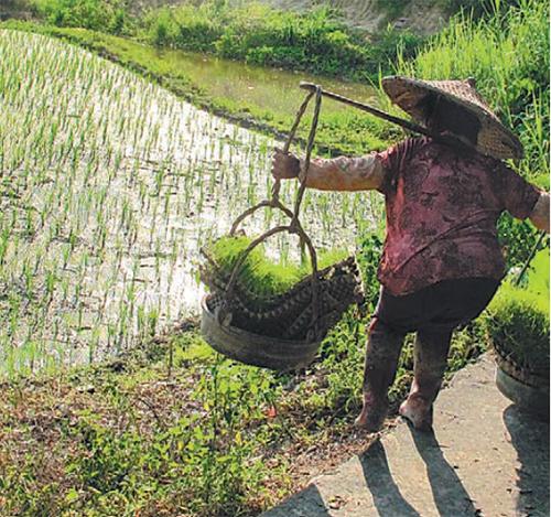 중국 남부의 벼농사 풍경. 벼는 모를 심어 다시 논에 옮겨 심는 과정이 있어 노동력이 많이 든다. 이런 특성이 집단주의를 강화시킨 것으로 추정된다. - 사이언스 어드밴시스 제공