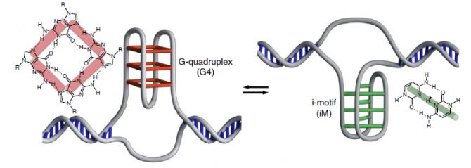 대표적인 4중 나선 구조 DNA에는 4개의 염기 G가  모인 쥐-와 아이 ~가 있다-