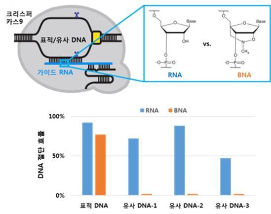 크리스퍼는 표적 DNA를 인식하는 가이드 RNA와 DNA를 절단하는 카스9 절단효소로 이뤄져 있다. 가이드 RNA의 일부를 가교 핵산(BNA)으로 치환하면, 표적 DNA에 대한 절단 능력은 유지되면서도 다른 유사 DNA는 자르지 않는다는 사실을 이번 연구로 확인했다. -사진 제공 서울대