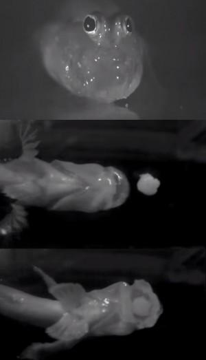 지상에서 물을 혀처럼 이용해 먹이를 잡는 말뚝망둥어 -네이처영상 캡쳐