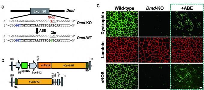 근육세포를 유지시켜 주는 Dmd 유전자를 구성하는 아데닌(A) 염기 하나를 구아닌(G) 염기로 교체한 결과, 근위축증을 앓던 생쥐 성체의 근육 조직이 정상적으로 돌아왔다. - 사진 출처 기초과학연구원(IBS)