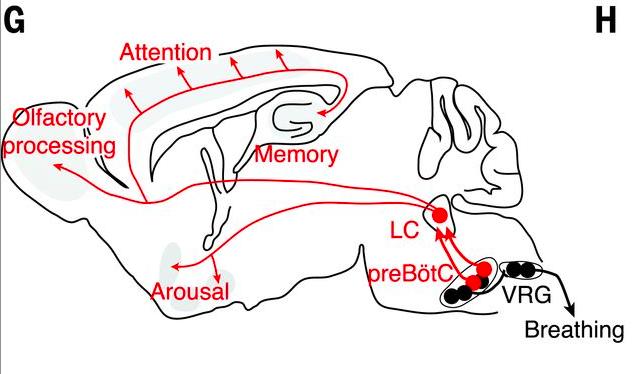 생쥐의 뇌 단면으로 왼쪽이 앞이다. 뇌간의 연수에 있는 전뵈트징어복합체(preBötC)는 호흡리듬을 발생시켜 신호가 VRG전운동뉴런을 통해 근육에 전달돼 호흡을 하게 되고 그 정보는 청반(LC)으로 전달돼 각성 등 뇌 전반의 활동에 영향을 미치게 된다. - '사이언스' 제공