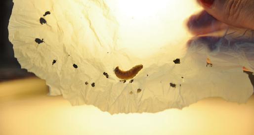 꿀벌 부채 명나방 애벌레가 봉지를 먹고 있는 장면이다. -스페인 국립연구위원회(CSIC)제공
