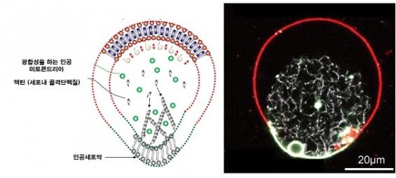 인공 미토콘드리아를 인공 세포막 내부에삽입해 '액틴'을 스스로 합성하고 움직일 수 있는 인공세포를 만들어냈다. - 자료: 네이처 바이오테크놀로지