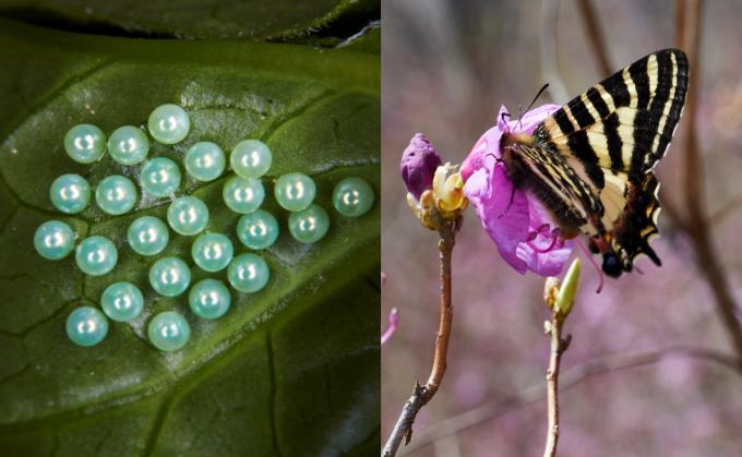 이른 봄이 되면 알(좌)에서 깨 어른나비의 모습을 갖춘 애호랑나비(우)를 볼 수 있다.- 홀로세생태보존연구소 제공