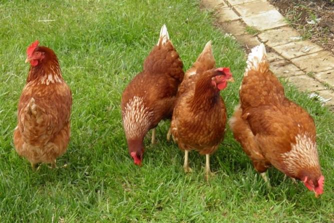 닭을 키워본 사람이라면, 닭의 세계에 텃세가 얼마나 심한지 잘 알고 있을 것이다. 텃세는 조류와 어류, 포유류 등에서 폭넓게 관찰되는 현상이지만, 사회적 동물인 인간 세계에서는 효과적인 생존 전략이 되기 어렵다. - 위키미디어 제공