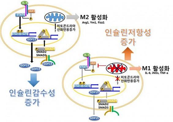 면역세포 미토콘드리아 기능 이상의 당뇨병 유발 규명