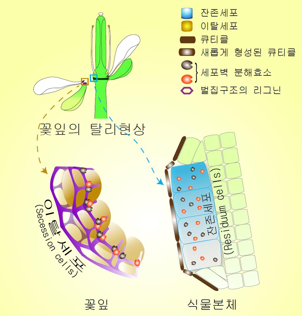 꽃잎과 함께 떨어져 나가는 이탈세포의 주변부를 리그닌이 벌집구조로 감싸고 있다. 이는 세포벽 분해 효소가 탈리가 일어나는 정확한 위치에만 밀집하게 한다. - IBS 제공