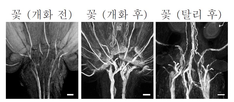 개화 후 잎이 떨어지기 직전의 꽃에서는 육각형 구조의 리그닌을 확인할 수 있다. 반면 개화 전과 탈리 후에는 이 구조를 찾아볼 수 없다. - IBS 제공