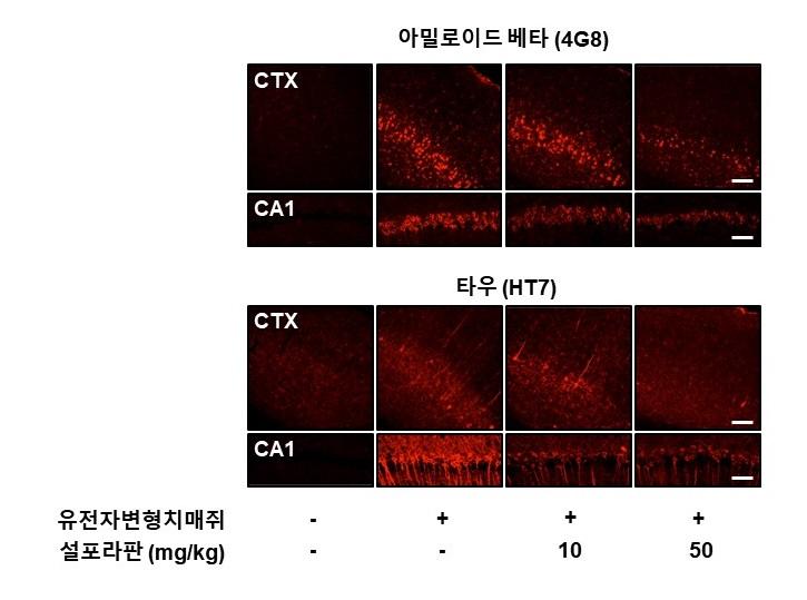 알츠하이머가 있는 유전자변형 쥐에게 설포라판을 주입하자, 알츠하이머의 원인으로 알려진 아밀로이드 베타, 타우 단백질(붉은색)의 양이 점점 줄어들고 있다. - 한국연구재단 제공