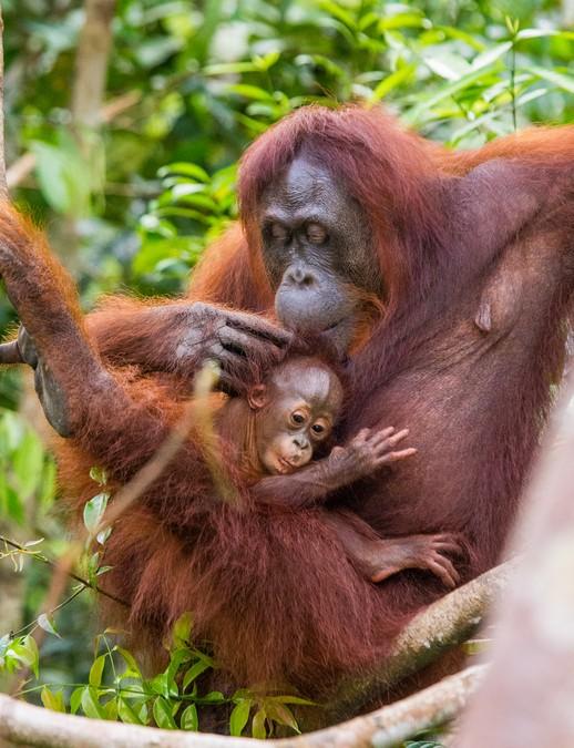 오랑우탄은 암컷이든 수컷이든 홀로 생활한다. 암컷의 경우 새끼를 낳고 얼마간은 같이 생활하지만 이내 성장하면 영영이별하게 된다. 새끼 오랑우탄이 부모에게 은혜를 갚는 것은 상상하기 어렵다.-GIB 제공
