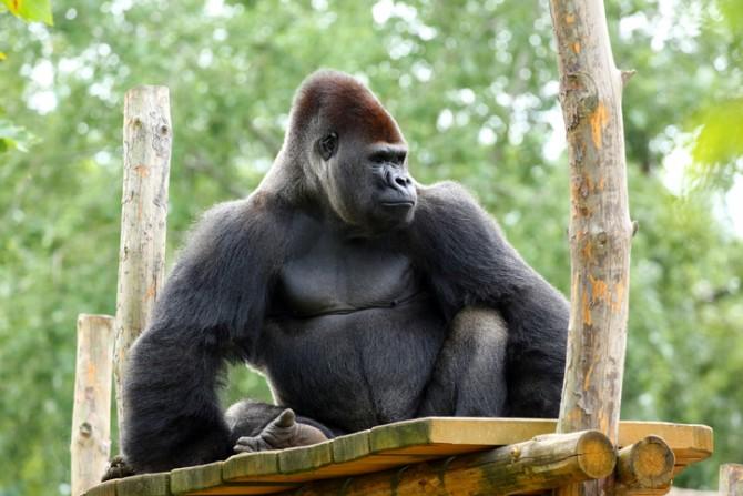 고릴라는 힘쎈 수컷이 여러암컷을 거느린다. 자신의 암컷이 다른 수컷(부하)와 교미해도 신경쓰지 않기때문에 수컷에게 자식은 무의미하다. 자식역시 누가 자신의 아버지 인지 알기 어렵다. -GIB 제공