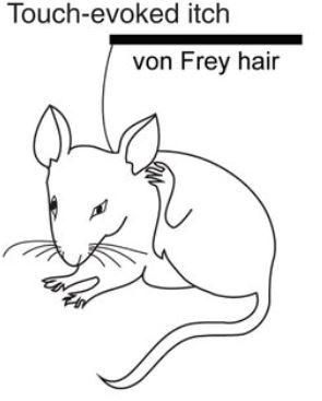 연구자들은 물리적 자극(touch)이 일으키는 가려움을 분석하는데 1_폰 프레이 털(von Frey hair)을 즐겨 쓴다. 굵기에 따라 0.008g(그램힘)에서 최대 300g까지 힘을 주는데 가려움으로 느껴지는 범위는 0.02~0.4g다. 폰 프레이 털로 생쥐의 목덜미를 눌렀을 때 뒷발로 긁는 횟수를 측정해 가려움 정도를 평가한다. - '사이언스' 제공