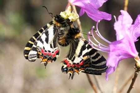 애호랑나비 짝짓기 - 홀로세생태보존연구소 제공