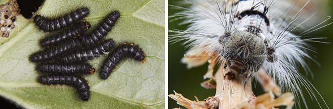 애호랑나비 애벌레(좌), 솔나방애벌레 머리(우) - 홀로세생태보존연구소 제공