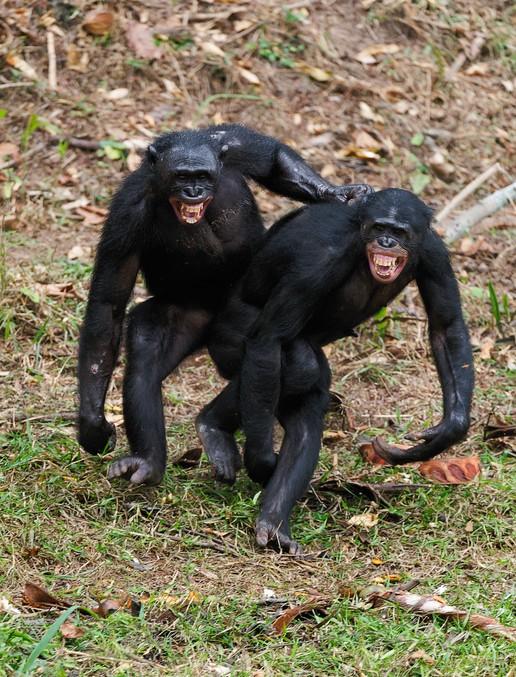 수컷 보노보끼리 동성애를 즐기는 모습이다. 유인원중 가장 많은 성행위를 한다고 알려진 보노보 사회 역시 부모와 자식 사이(특히 아버지-자식)의 정이란 성립되리 어렵다.-GIB 제공