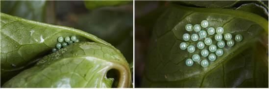 애호랑나비 알 - 홀로세생태보존연구소 제공