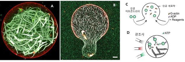 광합성에 의해 생산된 생체에너지(ATP)로 세포 내 골격근 단백질(액틴)이 성장한 인공세포의 내부 구조(A). 빨간색이 인공세포막, 초록색이 액틴을 가리킨다. 빛에 의해 세포막의 특정 위치가 변형돼 세포가 이동성을 갖게 된 모습(B). (C)(D)는 인공세포의 모식도. - 자료: 네이처 바이오테크놀로지