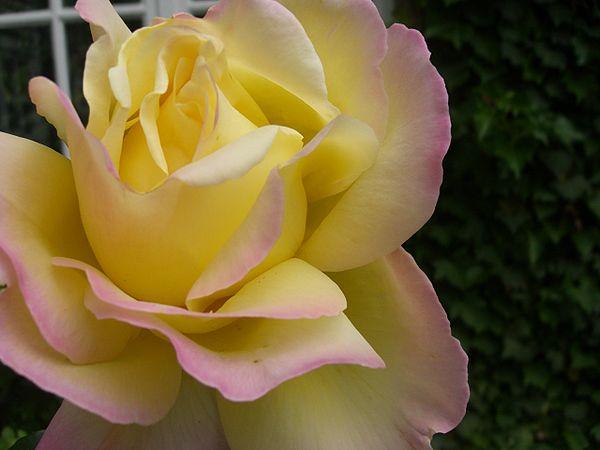 제2차 세계대전의 전운이 감도는 1930년대 말 프랑스 장미육종가 프란시스 메이앙이 개발한 로사 피스(Rosa Peace)는 20세기에 가장 널리 사랑받은 품종이다. 피스의 등장으로 하이브리드 티 장미는 현대장미를 대표하는 계열로 자리 잡았다. - 위키피디아 제공