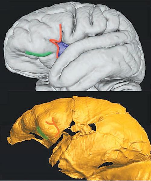 현대인 152명의 뇌를 자기공명영상(MRI)으로 촬영한 뒤 평균 값을 3차원(3D) 형상으로 만든 모습(위 사진)과 화석을 통해 호모 날레디의 뇌 형상을 3D로 복원한 모습. 호모 날레디의 뇌는 현생인류의 절반 이하 크기지만, 고등 지능과 관련된 전두부의 비중이 현대인과 비슷하게 나타났다. 사진 출처 미국국립과학원회보(PNAS)