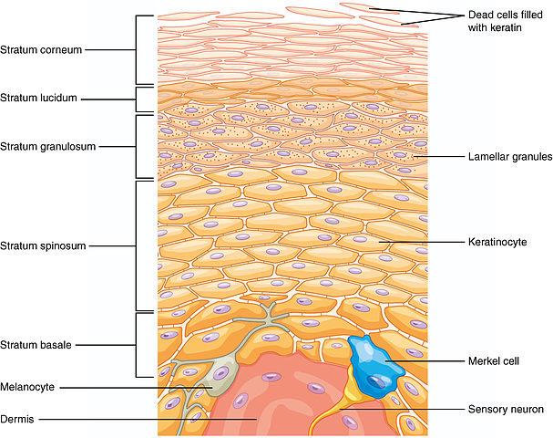 피부에는 물리적 자극에 반응하는 다양한 종류의 수용체 세포가 있다. 표피와 진피 사이에 있는 메르켈 세포(오른쪽 파란색)는 가벼운 물리적 자극에 반응해 신호를 전달한다. 나이가 들어 메르켈 세포가 주는 게 만성적인 가려움증의 원인이라는 사실이 최근 밝혀졌다. - 위키피디아 제공