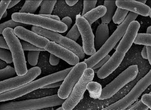 프로테오박테리아 - NIAID 제공