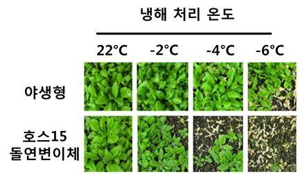 평상시(22도씨)에는 생존률에 차이가 없으나, 추워지면 호스15(HOS15) 단백질을 가지고 있지 않는 돌연변이체의 생존률은 급격히 떨어진다. -사진 제공 한국연구재단