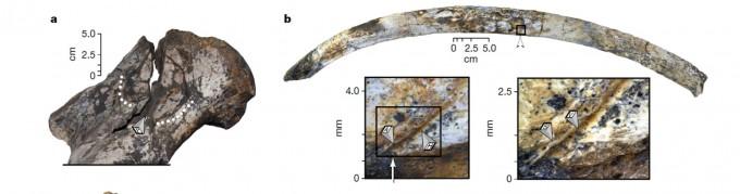 도축 흔적을 보이는 코뿔소 화석의 위팔뼈(왼쪽)와 갈비뼈. 각각 뼈를 부수고 골수를 먹은 흔적과, 칼로 살을 저민 흔적이 남아 있다. -사진 제공 네이처