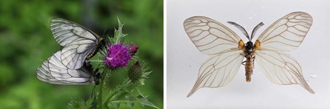 모시나비 짝짓기(좌), 벚나무모시나방(우) - 홀로세생태보존연구소 제공