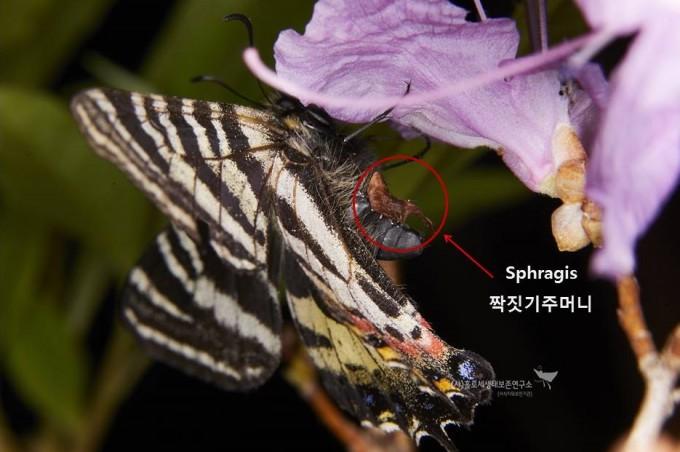 붉은 원이 애호랑나비의 짝짓기주머니(Sphragis) - 홀로세생태보존연구소