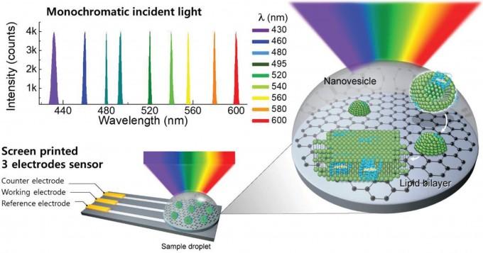 연구 개념도. 기름(지질) 막으로 된 풍선 사이에 세포에서 인공 생산한 광수용 단백질을 끼운 뒤 그래핀에 부착해 얇은 지질 막을 형성한다. 광수용 단백질이 빛을 받으면 그래핀에 구멍이 생기고, 여기에서 전기 신호가 발생한다. 3원색 및 밝기(명암)을 구분할 수 있어 인간의 망막과 매우 유사하다. - 사진 제공 어드밴스드 머티리얼스