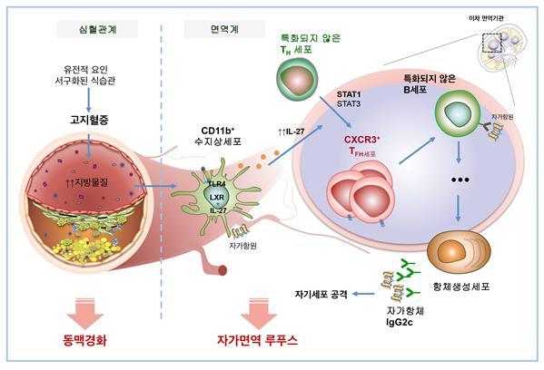 고지혈증과 자가면역질환의 상관관계를 나태난 모식도. 고지혈 환경이 TLR4와 LXR라는 인체내 물질을 조절함으로써 IL-27의 생성을 촉진하는 것으로 밝혀졌다. 한국연구재단 제공.