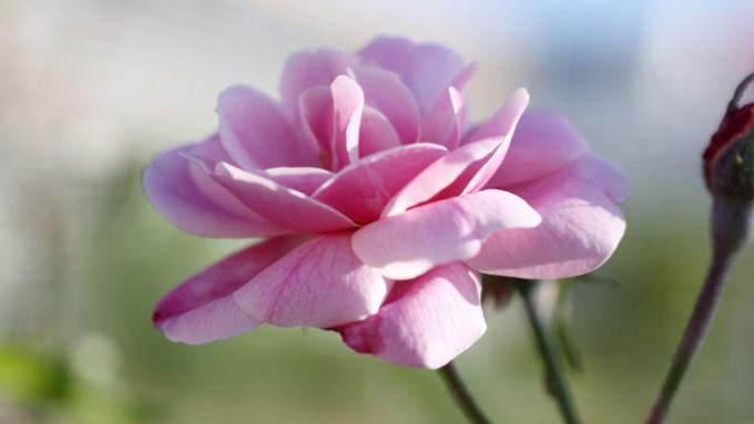 현대장미가 탄생하는 데 결정적 기여를 한 품종인 월계화 올드 블러시(Old Blush). 수백 년 또는 수천 년 전 중국의 한 육종가가 야생 월계화를 바탕으로 만들었을 것이다. 18세기 유럽에 소개된 올드 블러시는 늦봄부터 가을까지 반복적으로 꽃을 피우는 특성으로 당시 육종가들의 가슴을 설레게 했다. 올드 블러시라는 이름처럼 꽃잎의 색은 무척 아름답지만 형태는 평범하다. - '네이처 유전학'