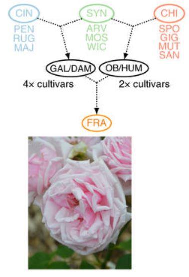 1867년 프랑스의 장미 육종가 장 밥티스트 앙드레 기요가 개발한 '라 프랑스(La France)'는 현대장미 품종의 효시로 꼽힌다. 최근 게놈 분석 결과 라 프랑스(FRA) 품종 개발 과정에서 프랑스장미(GAL), 다마스크장미(DAM), 월계화 올드 블러시(OB), 월계화 흄스 블러시(HUM)가 동원된 것으로 나타났다. 이들 장미 역시 여러 원종과 품종을 교배해 만든 것이다. 참고로 장미속 가운데 세 계열(CIN, SYN, CHI)이 현대장미에 기여했다. - '네이처 유전학' 제공