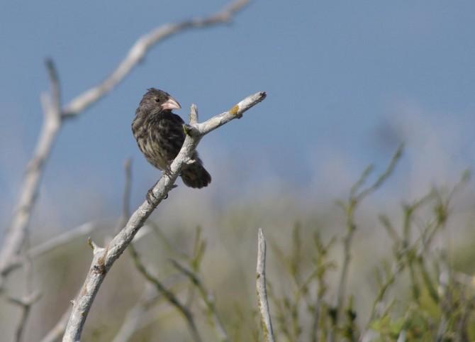 다윈의 핀치새 중 한 종인 지오스피자 프로Geospiza propinqua -S. Taylor