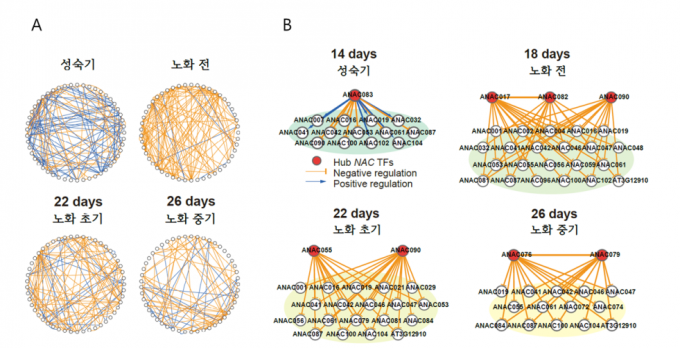 (A)애기장대 생의 주기별 NAC 유전자간의 상호작용의 네트워크를 분석했다. 주황색은유전자간서로 발현을 촉진하는 것이며, 파랑색은 억제하는 것이다.(B) 잎이 피고 18일이 지난 뒤 NAC 유전자 서로 간의 발현이 촉진(주황색선)되는 연결성이 커졌다.</br >이들 유전자가 함께 발현되면 노화가 시작된다는 설명이다.-기초과학연구원 제공