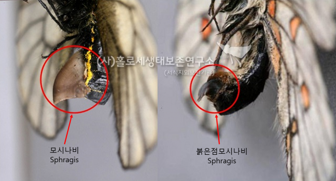 모시나비(좌), 붉은점모시나비(우) Sphragis - 홀로세생태보존연구소 제공