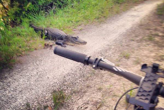 자전거 길에 나타난 악어