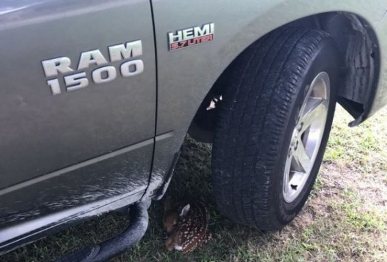후진하려고 했는데...차 밑의 아기 사슴