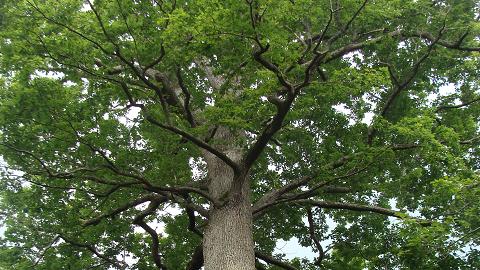 참나무 장수 이유, 질병저항 유전자 덕분이었네!