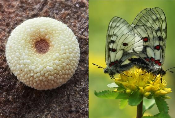 [이강운의 곤충記] 더위 피해 알 속에서 여름잠 자는 붉은점모시나비