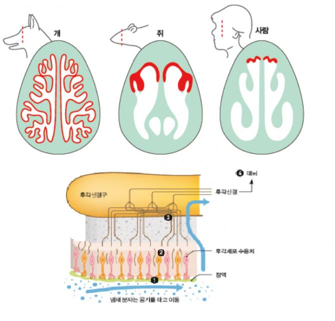 코의 단면을 잘라 본 모식도로, 개의 후각상피 넓이가 사람이나 쥐보다 압도적으로 넓다(왼쪽), 냄새 인지 과정으로, 공기중 냄새입자가 후각수용체에 감지데 신경을 통해 후각신경구로 전달되면 뇌가 인지하게 된다. -과학동아 제공