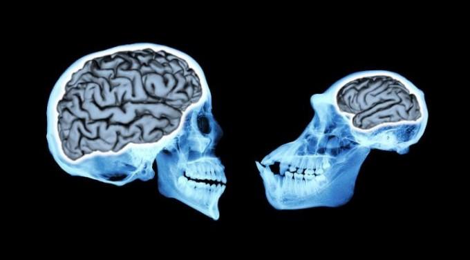 유인원보다도 세 배나 큰 인류의 뇌. 이유가 뭘까? - 사진 제공 시카고대
