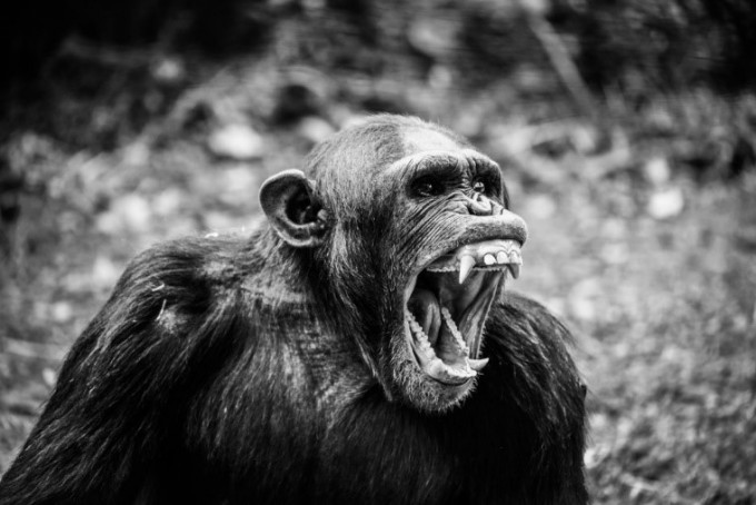 오랫동안 동물은 전쟁을 하지 않는다고 알려졌다. 그러나 침팬지 사회의 전쟁에 대한 다양한 보고가 이어지면서, 이러한 낭만적 믿음은 깨져버렸다. - pxhere 제공
